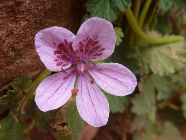 Erodium de l'Atlas