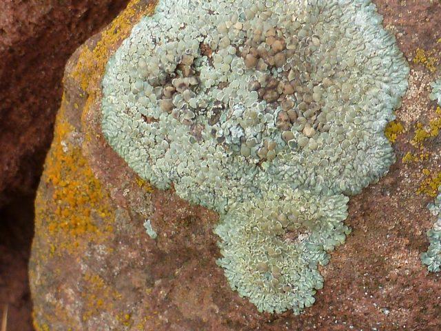 lichen sur rocher 3