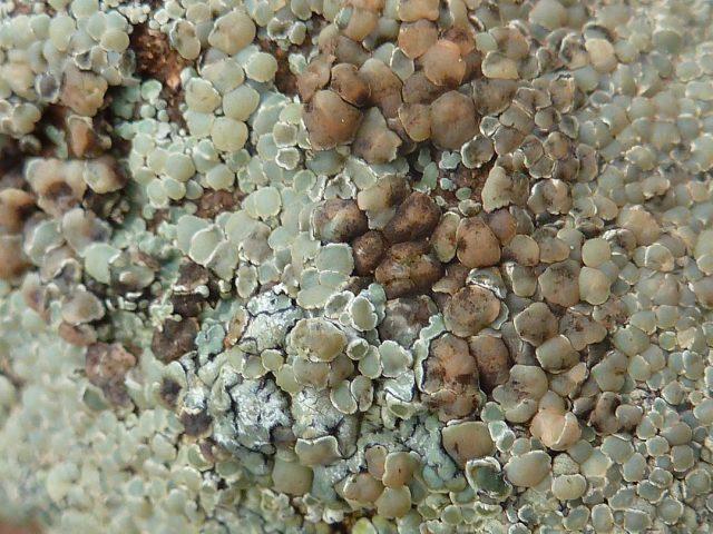 lichen sur rocher 4