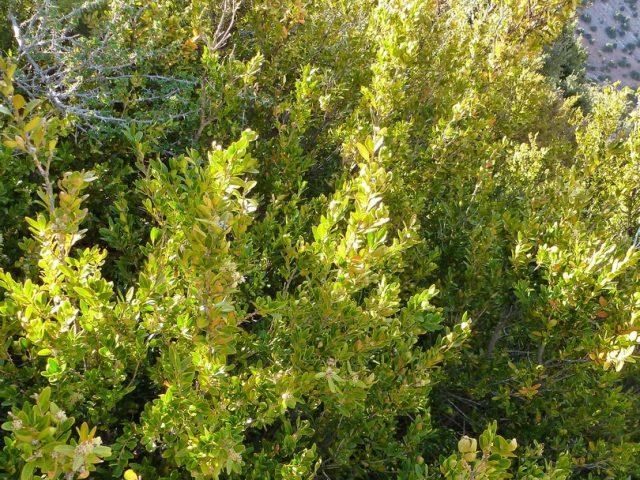 Aït Bougmez-Tafenfent-arbustes et épineux