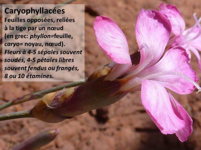 Caryophyllacées