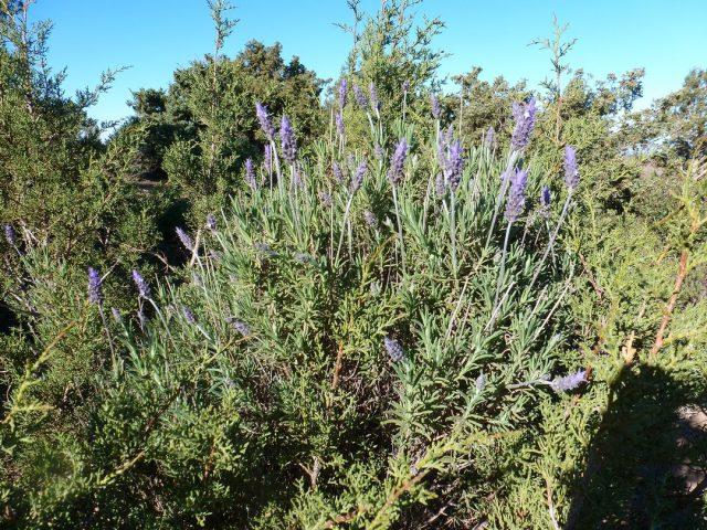 Khalwa-jbel Khelout-fleurs