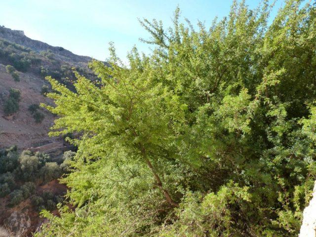 Acacia gommier
