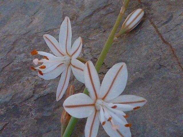 Asphodèle à petites feuilles