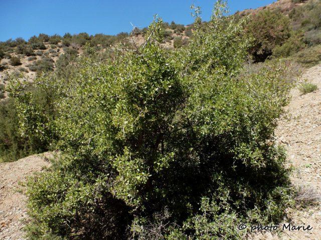 Nerprun faux-olivier