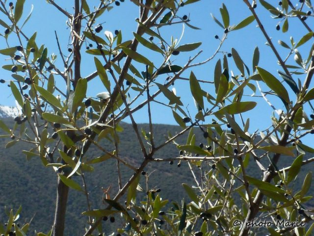 Oléastre , olivier sauvage