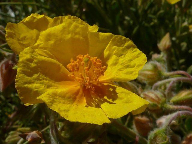 Hélianthème jaune