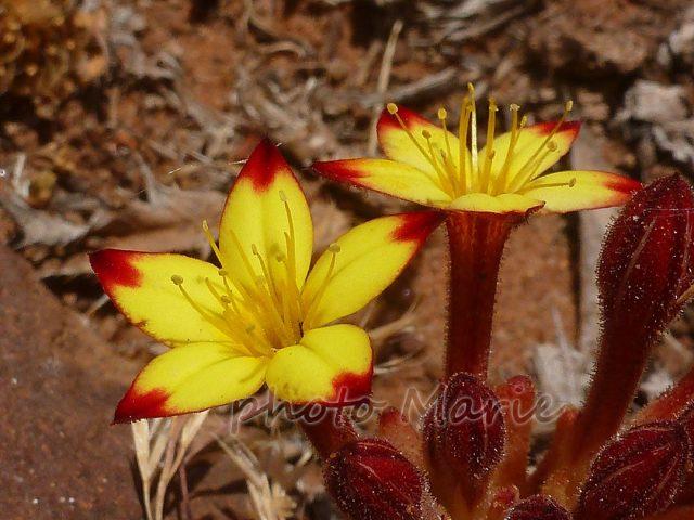 pistorinia jaune à petites fleurs