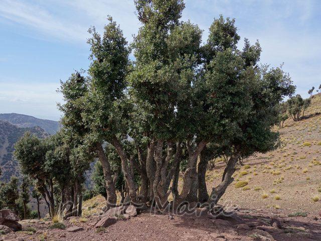 Tadmant forêt chênes verts