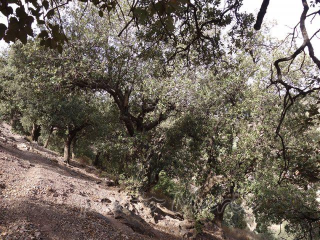Chênes verts préservés