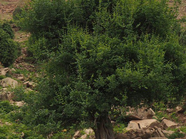 Frêne dimorphe