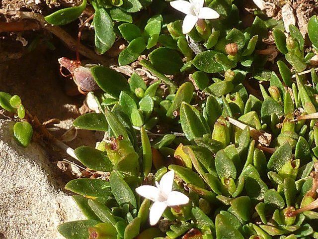 Plocama à petites feuilles