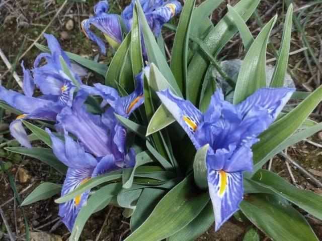 Iris à feuilles planes