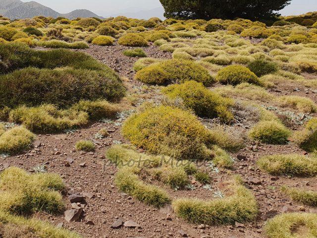 fétuque du désert