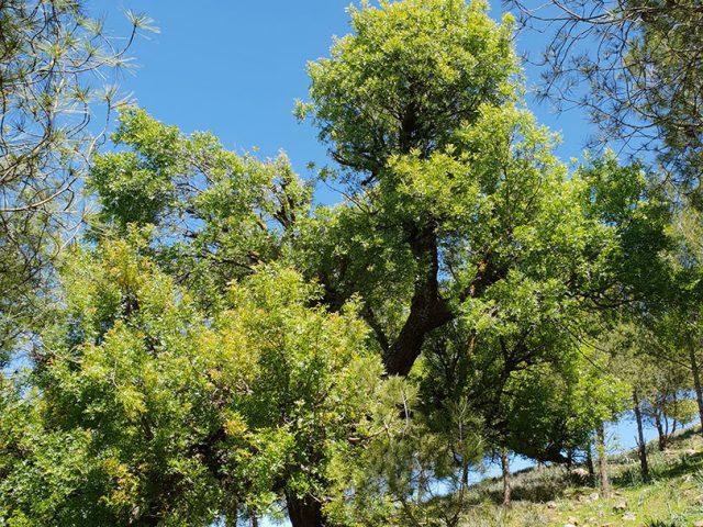 reboisements d'Aït Ourir 2  végétation d'origine