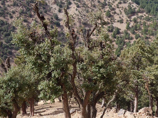 forêt de Tadmant chênes verts