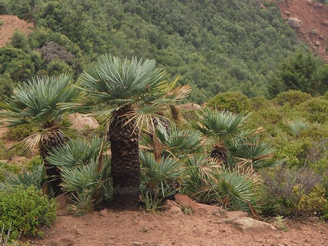 palmiers-nains » doum» préservés