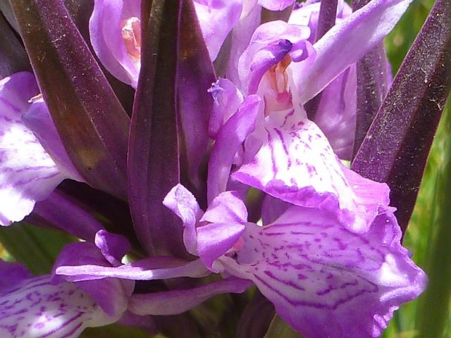 orchis élancé